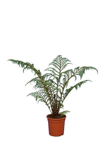 Cyathea tomentosissima Highland Lace pot Ø 15 cm