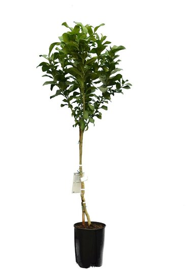 Citrus limon - total height 160-180 cm - Ø 26 cm pot