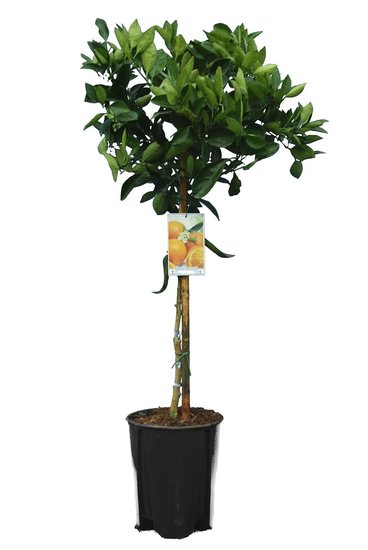 Citrus sinensis - total height 140-160 cm - pot Ø 26 cm