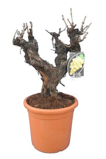 Vitis vinifera pot Ø 40 cm [pallet]