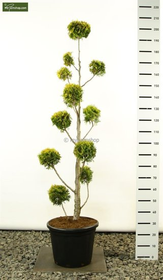 Thuja occidentalis Yellow Ribbon Multibol - total height 175-200 cm [pallet]
