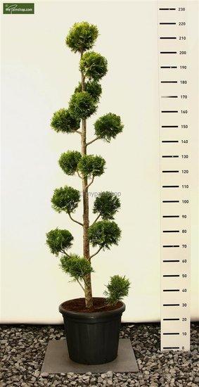 Chamaecyparis lawsoniana 'Ivonne' MULTIBOL - 200+ cm [pallet]