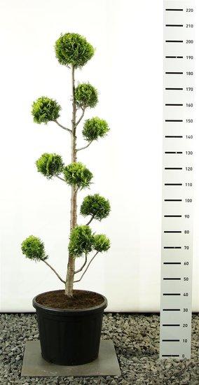 Chamaecyparis lawsoniana Ivonne Multibol - total height 175-200 cm [pallet]