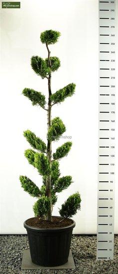 Chamaecyparis lawsoniana Ivonne Multiplateau - total height 225-250 cm [pallet]