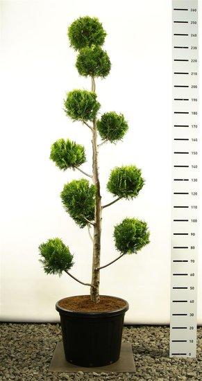 Chamaecyparis lawsoniana Ivonne multibol 250-275 cm [pallet]