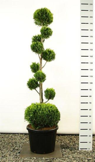 Chamaecyparis lawsoniana Ivonne multibol + bol total height 200-225 cm [pallet]