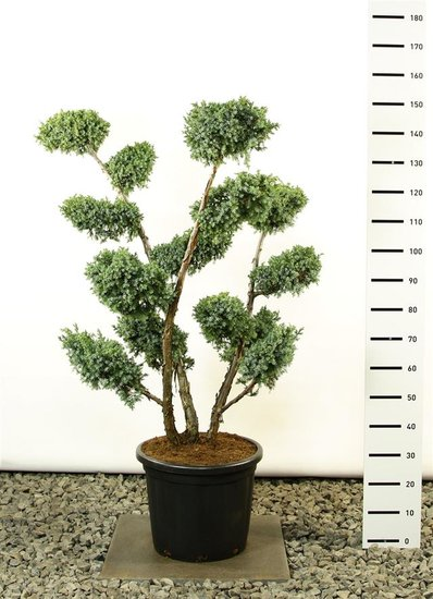 Juniperus chinensis Blue Alps Multiplateau Extra - total height 125-150 cm [pallet]