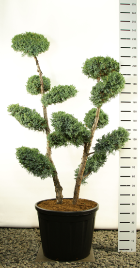 Juniperus chinensis Blue Alps Multiplateau extra - total height 250-275 cm [pallet]