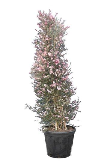 Leptospermum scoparium Pink Queen pot Ø 55 cm [pallet]