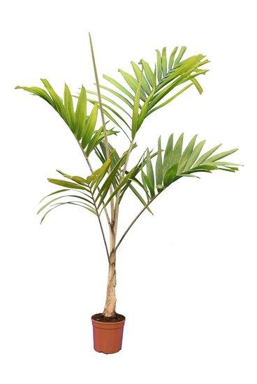 Veitchia joannis pot Ø 20 cm [pallet]