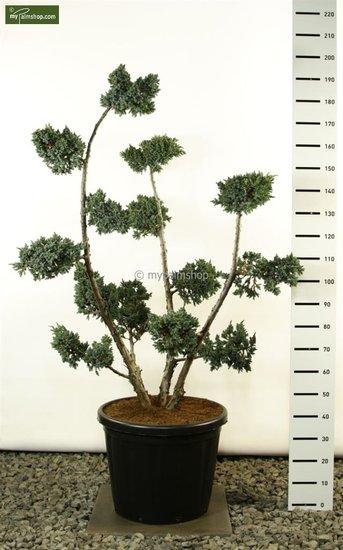 Juniperus Squamata Meyeri Multiplateau extra - total height 150-175 cm [pallet]