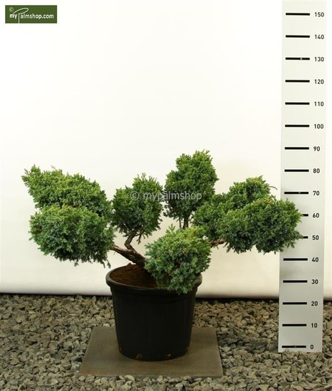 Juniperus Squamata Blue Swede Multiplateau extra - total height 125-150 cm [pallet]