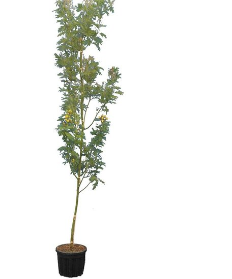 Acacia dealbata pot Ø 33 cm [pallet]