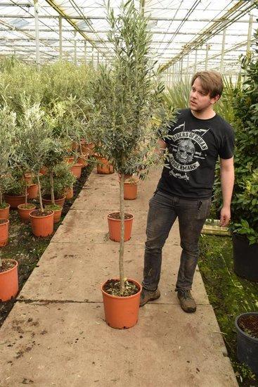 Olea europaea wilde vorm trunk 100+ cm [pallet]