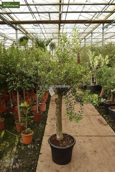 Olea europaea wild form trunk 40-50 cm trunk circumference 40-50 cm [pallet]