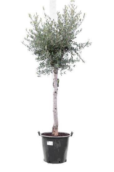 Olea europaea wild form trunk 70+ cm trunk circumference 18-22 cm [pallet]