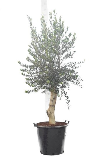 Olea europaea wild form trunk 80+ cm trunk circumference 30-40 cm [pallet]