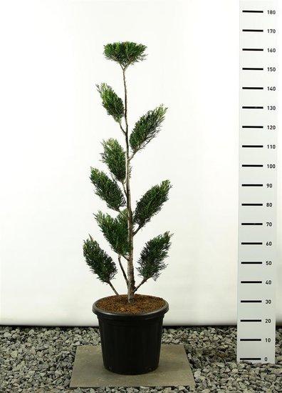 Cupressocyparis leylandii sp. 2001 Multiplateau 150-175 [pallet]