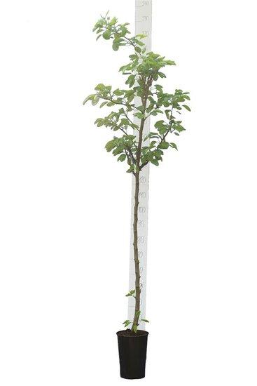 Pyrus communis pot Ø 20 cm [pallet]