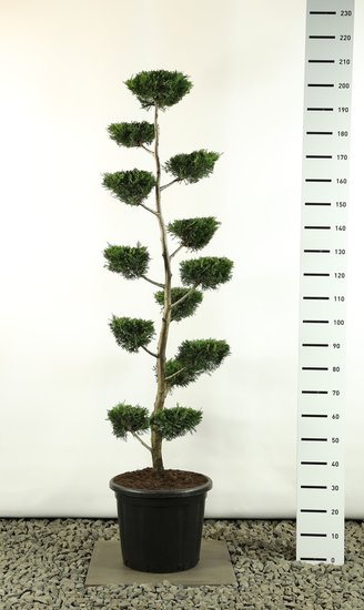 Cupressocyparis leylandii multiplateau flat - total height 170-200 cm [pallet]
