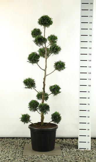 Cupressocyparis leylandii Multibol - total height 170-200 cm [pallet]