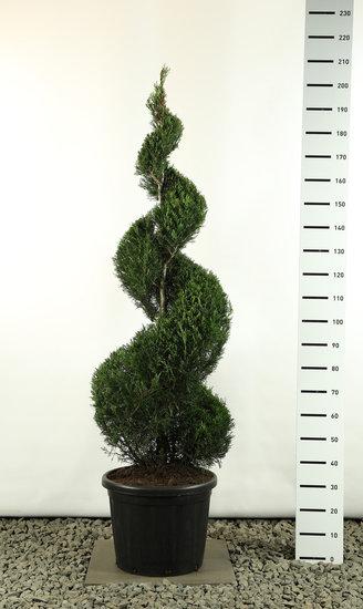 Cupressocyparis leylandii Spiral extra - total height 200-225 cm [pallet]
