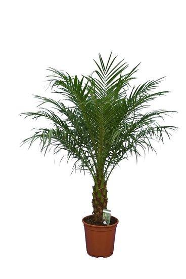 Phoenix roebelenii - trunk 30-40 cm - total height 120-140 cm - Ø 27 cm pot