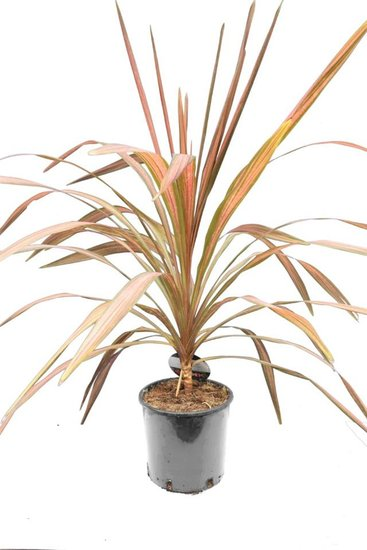 Cordyline Pacific Paradise total height 100-120 cm
