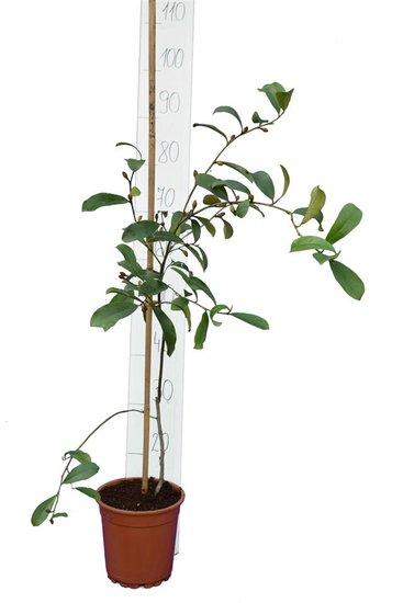 Michelia yunnanensis pot Ø 17 cm total height 90-110 cm