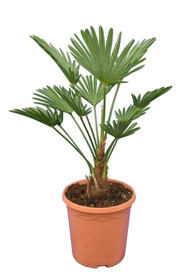 Trachycarpus wagnerianus Frosty pot Ø 23 cm total height 50-70