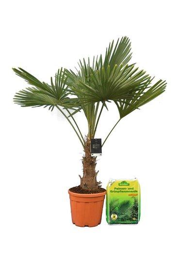 Trachycarpus fortunei trunk 25-35 cm + 10 ltr palm potting soil