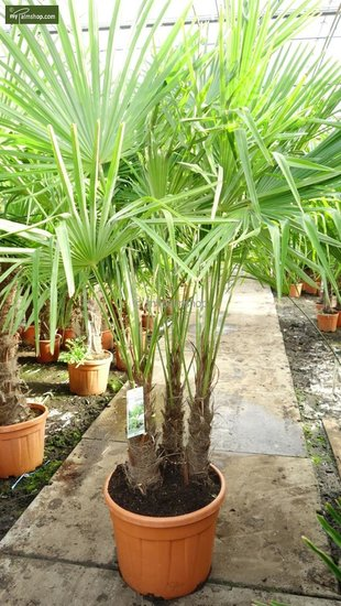 Trachycarpus fortunei ITALY multi trunks total height 180+ cm [pallet]