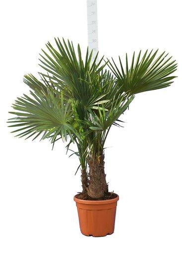 Trachycarpus fortunei Multitrunk pot 35 ltr [pallet]