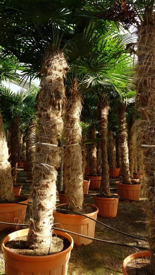 Trachycarpus fortunei trunk 275-300 cm [pallet]