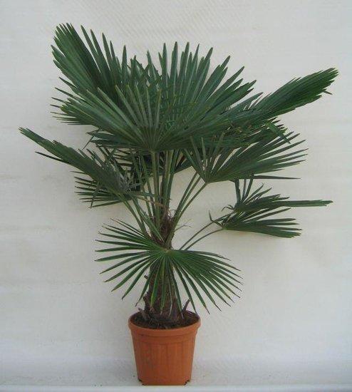 Trachycarpus fortunei trunk 25-35 cm