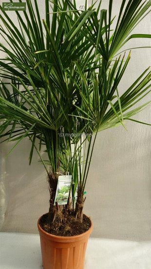 Trachycarpus fortunei ITALY multi trunk total height 150-170 cm