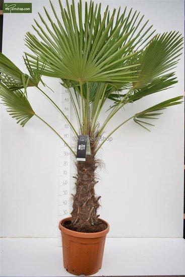 Trachycarpus fortunei trunk 70-80 cm [pallet]