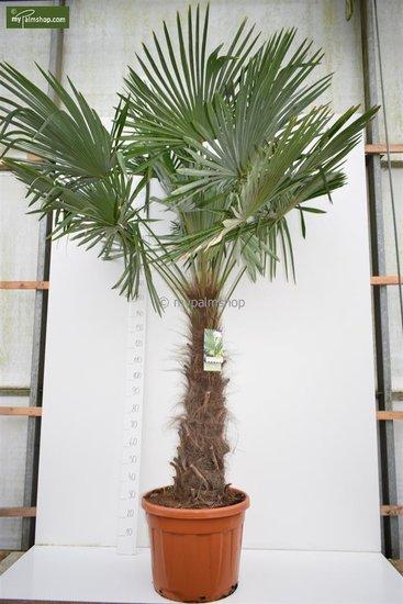 Trachycarpus fortunei trunk 120-140 cm [pallet]