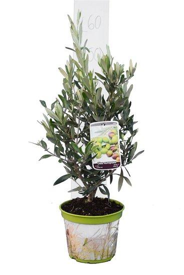 Olea europaea shrub pot Ø 18 cm