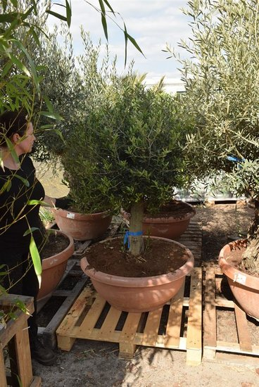 Olea europaea sphere form trunk height 60-80 cm trunk circumference 35-45 cm [pallet]