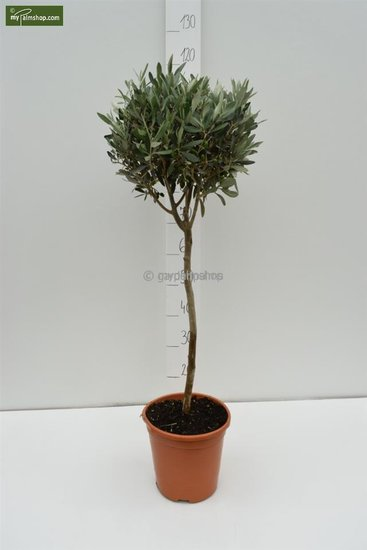 Olea europaea Sphere Form trunk 80-90 total height 140-160 cm