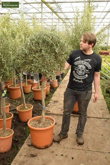 Olea europaea Sphere Form trunk 80+ total height 170-190 cm [pallet]