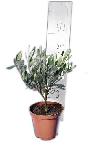 Olea europaea Wild Form pot Ø 15 cm