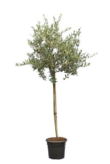 Olea europaea wild form trunk 90-110 cm trunk circumference 12-15 cm