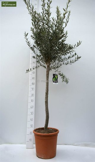 Olea europaea wild form trunk 80-90 cm total height 200+ cm [pallet]