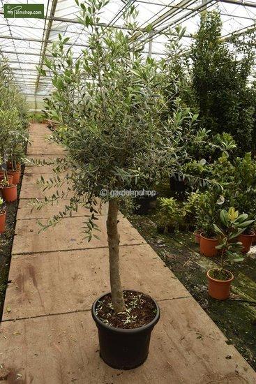 Olea europaea wild form trunk 40-50 cm trunk circumference 25-30 cm [pallet]