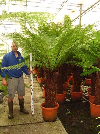Dicksonia antarctica trunk 120-130 cm [pallet]