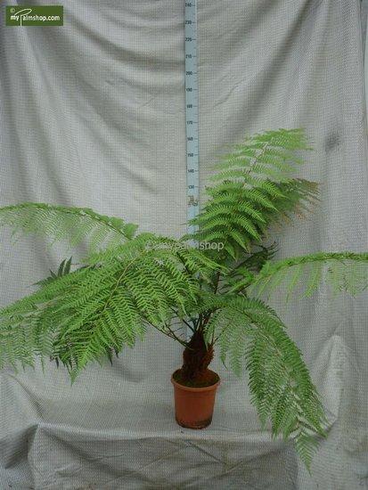 Dicksonia antarctica trunk 20-30 cm