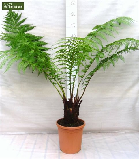 Dicksonia antarctica - trunk 15-20 cm - total height 80-100 cm - pot Ø 26 cm
