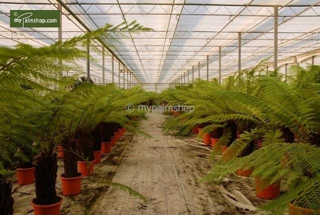 Dicksonia antarctica trunk 50-60 cm [pallet]